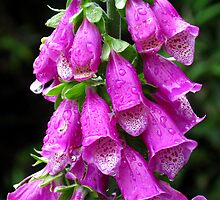 Purple Foxglove by Marilyn Harris