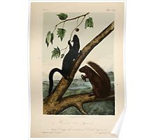 James Audubon - Quadrupeds of North America V3 1851-1854  Weasel Like Squirrel, Large Louisiana Black Squirrel Poster