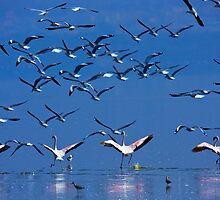 Flamingos in Flight, Lake Nakuru National Park, Kenya, Africa. by photosecosse /barbara jones