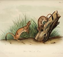 James Audubon - Quadrupeds of North America V2 1851-1854  White Weasel Stoat by wetdryvac