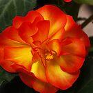 Orange Begonia by BigD