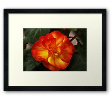 Orange Begonia Framed Print