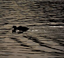 Swimming Coot - photograph by Paul Davenport