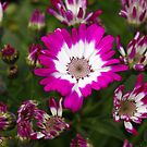 Pink Cineraria by BigD