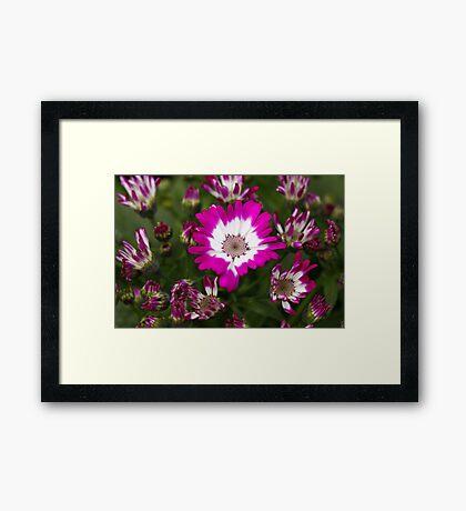 Pink Cineraria Framed Print