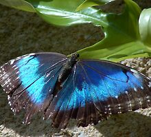 Blue Morph Butterfly by WTBird