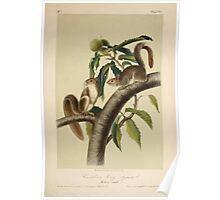 James Audubon - Quadrupeds of North America V1 1851-1854  Carolina Grey Squirrel Poster