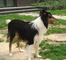 Quiet Collie (Smooth)