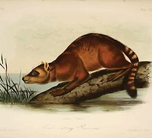 James Audubon - Quadrupeds of North America V3 1851-1854  Crab Eating Raccoon by wetdryvac
