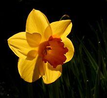 Daffodil by Jannaya