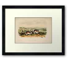 James Audubon - Quadrupeds of North America V3 1851-1854  Pouched Juboa Mouse Framed Print