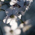 Spring bloom by narabia
