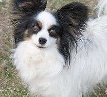 Adorbz Papillon