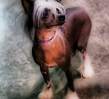 Chinese Crested by Lover1969