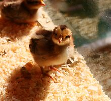 Inquisitive Chick by GreyFeatherPhot