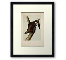 James Audubon - Quadrupeds of North America V1 1851-1854  Pennant's Martin or Fisher Framed Print