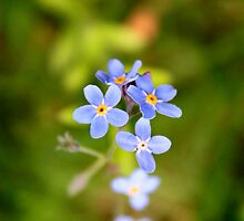 ForgetMeNot by TickerGirl