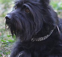 Funky Affenpinscher