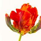 Vibrant Orange Tulip by daphsam