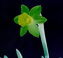Daffodil Green by Mike Solomonson