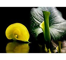 Zantedeschia Elliottiana Photographic Print