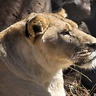 NO PLAY... CAUTION! - The Lioness  Panthera LEO by Magaret Meintjes