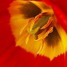 Tulip by BigD