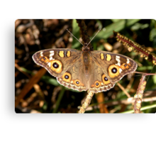 Meadow Argus – Junonia villida Canvas Print