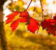 Autumn in the Vineyard by JimFilmer