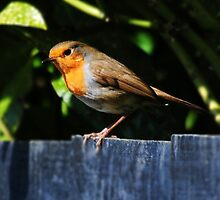 Robin Red Breast by appfoto