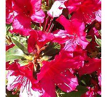 Azalea in full bloom by Ellen Turner