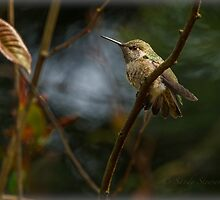 FLEDGLING ANNA HUMMINGBIRD by Sandy Stewart