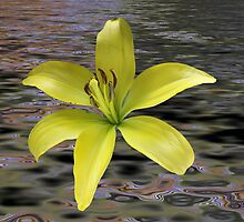 Floating Lily by Lisawv
