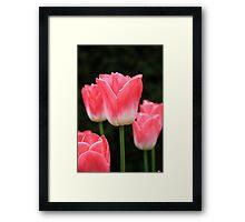 Pink tulip Framed Print