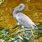 Tricolored Heron by Teresa Zieba