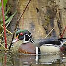 Wood duck in spring by gregsmith