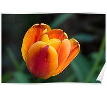 Golden Red Tulip Poster