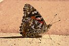 Painted Lady - Vanessa kershawi by Trish Meyer