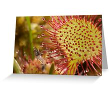 Godlingston Sundew - with fly Greeting Card