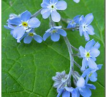 Forget me not by Paola Svensson