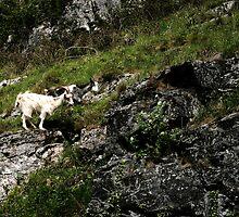 rock goats by shaun pearce