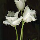 Crazy Fringed Tulips by Barbara Wyeth