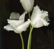 Crazy Fringed Tulips by Barbara Wyeth