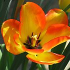 Petals of Fire - Orange and Yellow Tulip by SunriseRose