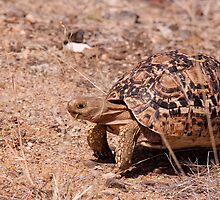 Leopard Tortoise, Kruger National Park, South Africa by Erik Schlogl