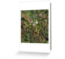 Eyebright Greeting Card