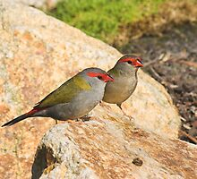 Red-browed Firetail by Melva Vivian