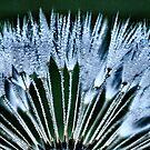 dandelion in blue by Sheri Nye
