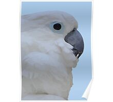 Side Portrait Of A Blue-Eyed Cockatoo Isolated Poster