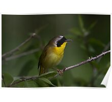 Common Yellow Throat Warbler 2 Poster